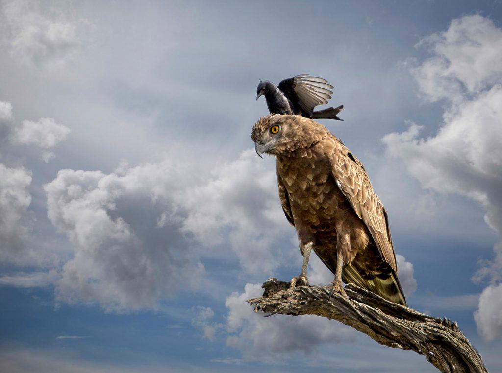 brown-snake-eagle