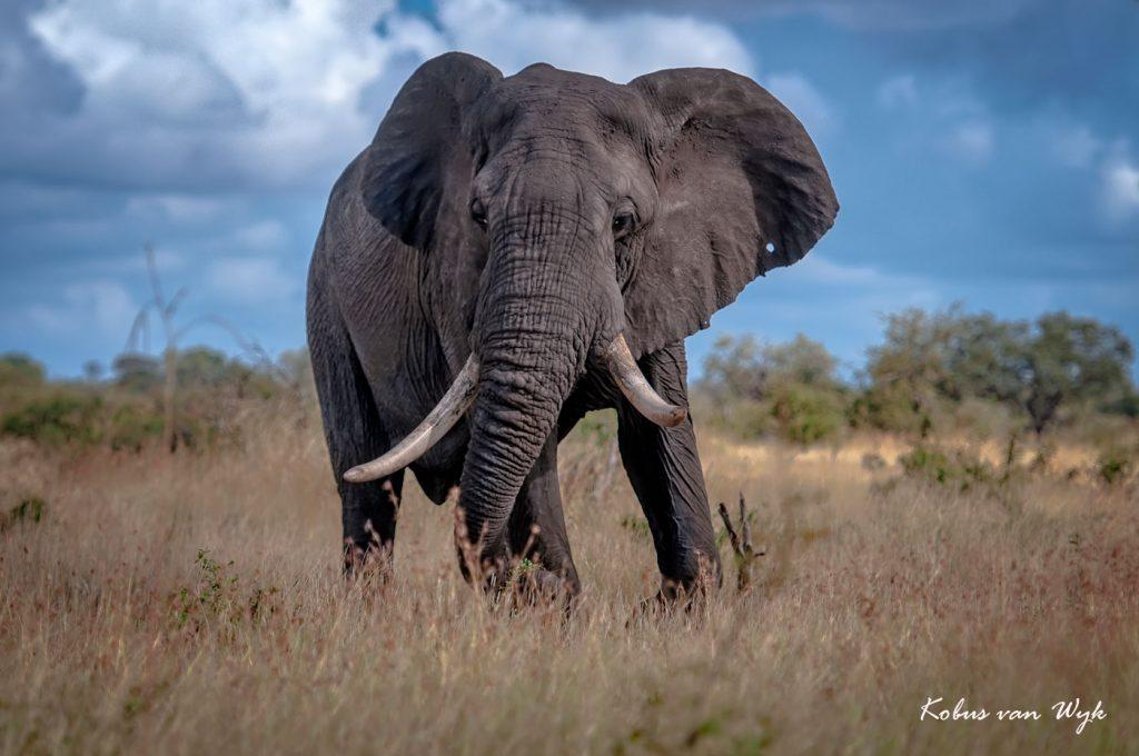 kruger-park-elephant